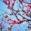 Cherry Blossom พร้อมส่ง thumbnail 2